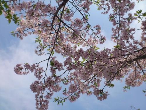 清水岩屋公園の桜