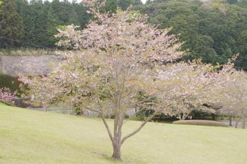 大体の桜がほぼ緑・・・
