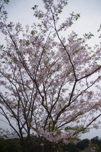 たまに結構咲いてる桜がありました。
