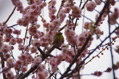 小鳥も梅を愛でています