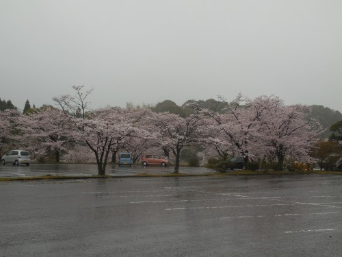 駐車場の桜。みなさん車の中から見ています。