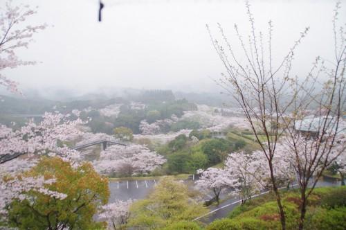 展望台から見下ろす桜。傘のひもが写っちゃってます。汗