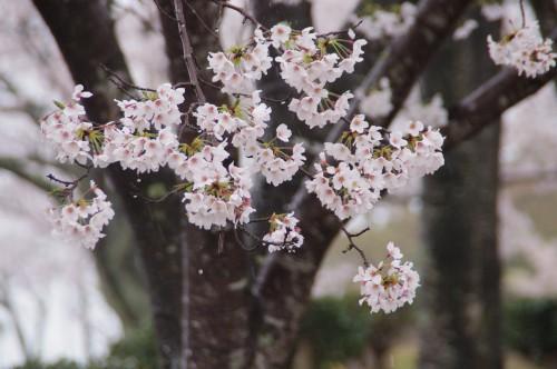 雨のしたたる桜