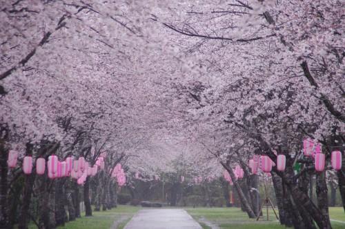 一番お気に入りの桜のトンネル