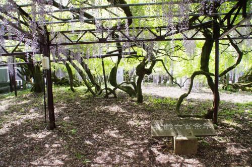 樹齢600年の藤もあります。