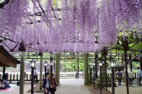 藤棚は神社を囲むようにあります。